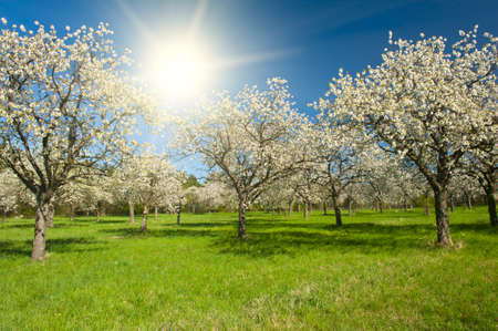 Apple Orchard in the middle of the spring season at sunset photo