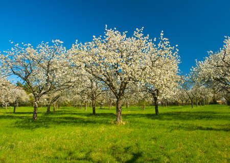 Jablečný sad v polovině jarní sezóny. Panoramatické fotografie.