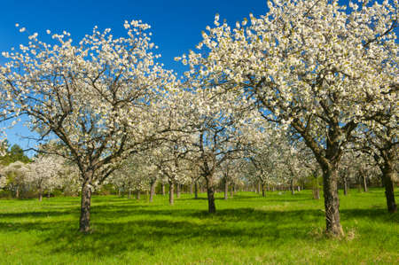 Apple Orchard in the middle of the spring season. Panoramic photo.  Stock Photo - 13907515