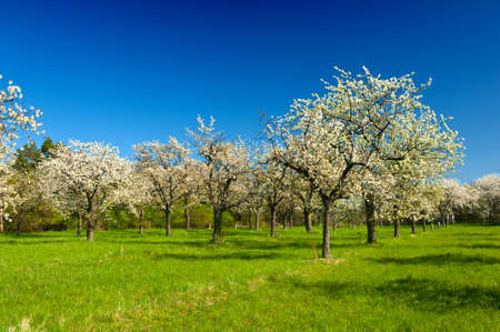 Apple Orchard in the middle of the spring season. Panoramic photo. Stock Photo - 13907511