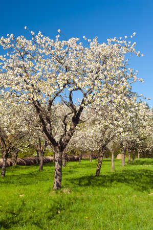 Apple Orchard in the middle of the spring season. Stock Photo - 13907512