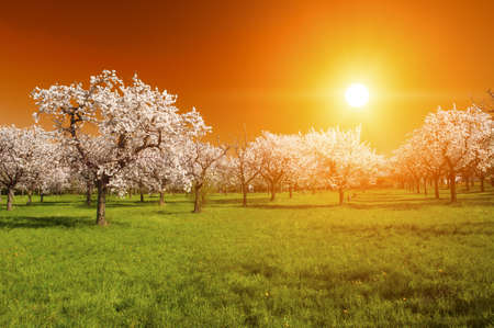 tree disc: Stunning vivid sunset over the blooming apple orchard in the spring