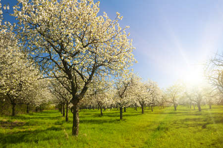 Apple Orchard in the middle of the spring season at sunset Stock Photo