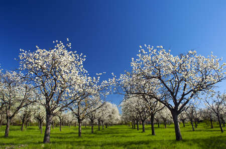 Apple Orchard in the middle of the spring season. Panoramic photo. Stock Photo - 13907506