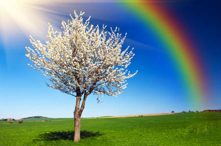 Lonely blooming apple tree in the green field with a blue sky, sun and rainbow