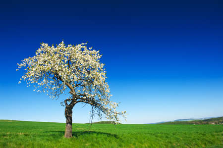 Lonely blooming apple tree in the green field with a blue sky photo