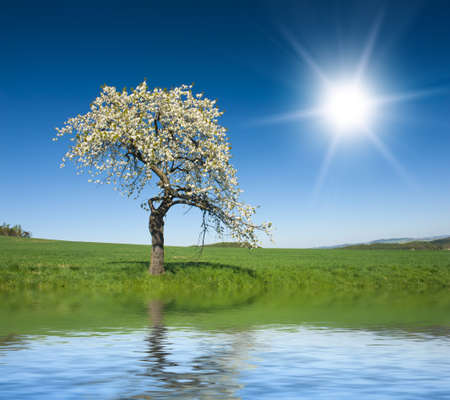 horizon reflection: Lonely blooming apple tree in the green field with a blue sky and sun is reflecting in the water