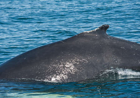 Mighty Humpback whale (Megaptera novaeangliae) seen from the boat near Husavik, Iceland photo