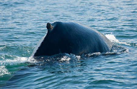 Mighty Humpback whale (Megaptera novaeangliae) seen from the boat near Husavik, Iceland photo