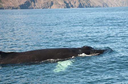 Mighty Humpback whale (Megaptera novaeangliae) seen from the boat near Husavik, Iceland Stock Photo - 14646432
