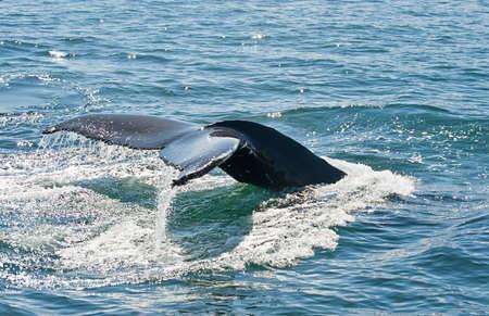 baleen whale: Aleta de la cola de la ballena jorobada poderoso (Megaptera novaeangliae) visto desde el barco cerca de Husav�k, Islandia Foto de archivo