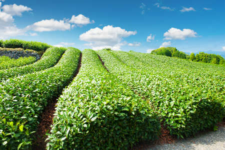 Mooie verse groene thee plantage op Nihondaira, Shizuoka - Japan