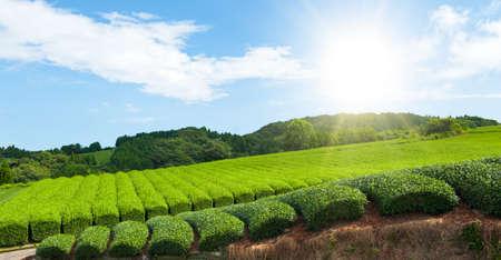 sencha tea: Beautiful fresh green tea plantation at Nihondaira, Shizuoka - Japan and a shining sun