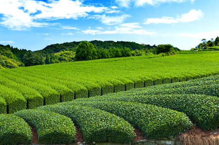 japanese green tea: Beautiful fresh green tea plantation at Nihondaira, Shizuoka - Japan