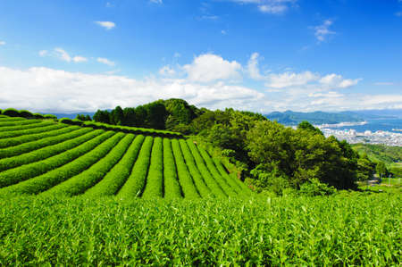 japan sky: Beautiful fresh green tea plantation at Nihondaira, Shizuoka - Japan