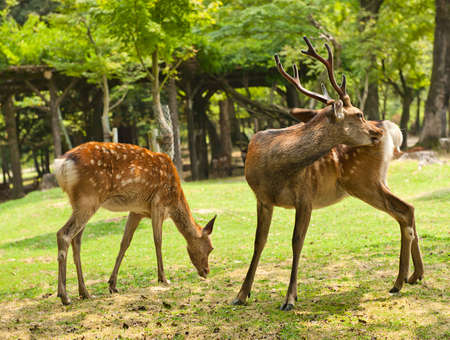 asia deer: One of the famous sacred sika deers in Nara, Japan