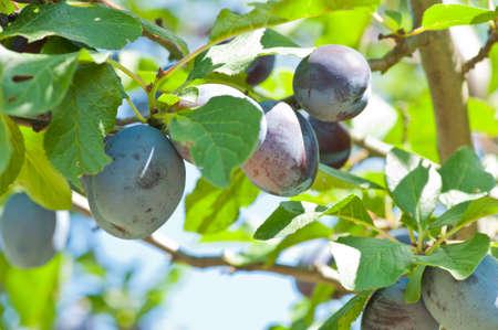 ciruela pasa: Frescas ciruelas maduras que crecen en un árbol de ciruela