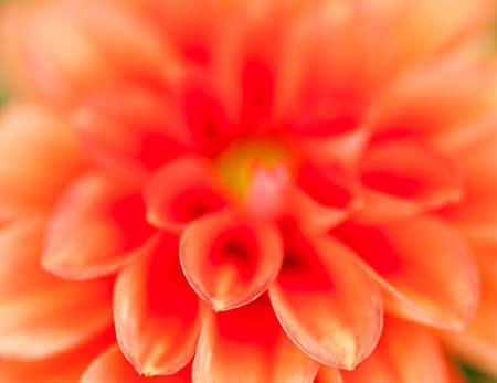 georgina: red georgina bloom with selective focus