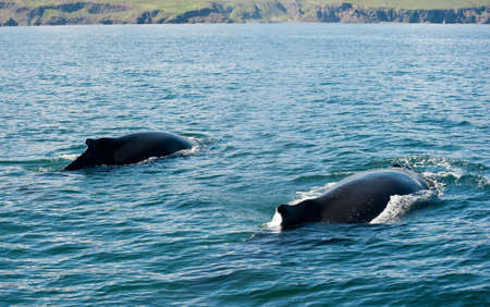 Two Mighty Humpback whales (Megaptera novaeangliae) seen from the boat near Husavik, Iceland photo