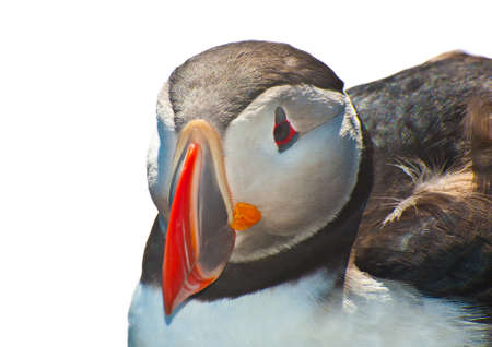 Detailed portrait of the puffin (Fratercula arctica) against a white background. West Fjords in the Iceland Stock Photo - 17272836