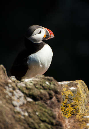 Puffin (Fratercula arctica) on the cliff against a dark background. West Fjords in the Iceland Stock Photo - 17924009