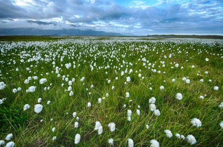 marsh plant: Field of cotton grass in a valley surrounded by sea and mountains in the eastern Fjords, Iceland Stock Photo