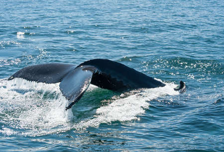 Tail fin of the mighty humpback whale (Megaptera novaeangliae) seen from the boat near Husavik, Iceland photo