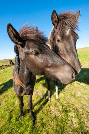 Icelandic horses are rather small and very beautiful. The breed was developed in Iceland and once exported outside the country animals cannot return Stock Photo - 17924072