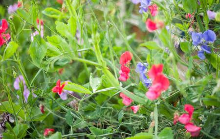sweet pea flower: Sweet pea (Lathyrus odoratus) blooming in the garden.