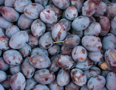 Fresh plums right after the harvest Stock Photo - 18728633