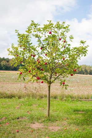 apfelbaum: Apfelbaum ist voll von roten reifen Äpfel. Viele der Früchte werden unter dem Baum liegen bereits.