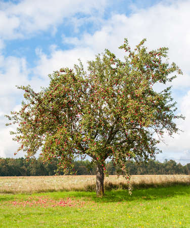 apple tree: Apple tree is full of red ripe apples. Many of the fruits are lying under the tree already.
