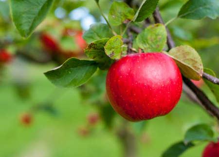 Manzana roja que crece en el árbol. DOF