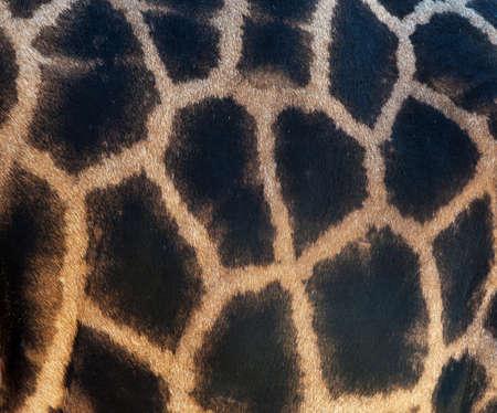 animal fur: Detailed texture of the real giraffe skin