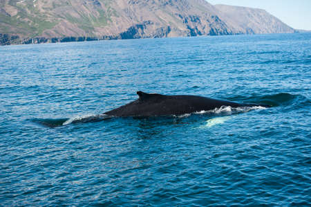 megaptera novaeangliae: Mighty humpback whale (Megaptera novaeangliae) seen from the boat near Husavik, Iceland Stock Photo