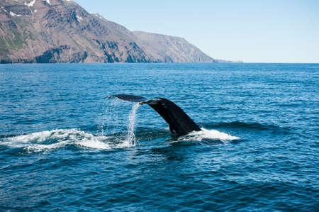 megaptera novaeangliae: Tail fin of the mighty humpback whale (Megaptera novaeangliae) seen from the boat near Husavik, Iceland