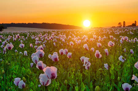 Beautiful vivid sunset over a field of white blooming poppy photo