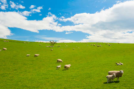 Common view in the New Zealand - hills covered by green grass with herds of sheep Standard-Bild