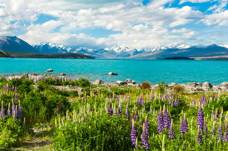 Beautiful incredibly blue lake Tekapo with blooming lupins on the shore and mountains, Southern Alps, on the other side. New Zealand Stock Photo