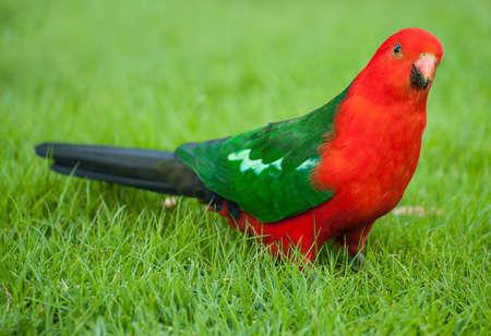 Curious Australian King-parrot (Alisterus scapularis) on the grass, seen near Apollo Bay on the Grat Ocean Road, Victoria - Australia. photo