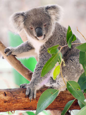 Beautiful koala bear (Phascolarctos cinereus) sitting on the gum tree branch, Victoria, Australia photo