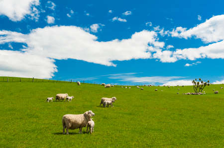 Common view in the New Zealand - hills covered by green grass with herds of sheep 写真素材