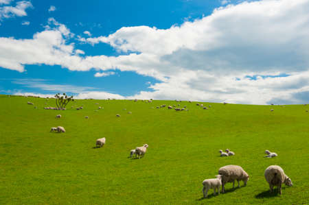 Common view in the New Zealand - hills covered by green grass with herds of sheep Stock Photo