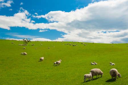 Gemeenschappelijke visie op de Nieuw Zeeland - heuvels bedekt door een groen gras met kuddes schapen Stockfoto