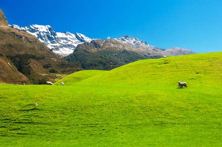 Mooi landschap van de Nieuw-Zeelandse - heuvels bedekt door een groen gras met kuddes schapen met machtige bergen bedekt door sneeuw achter. Glenorchy, Nieuw-Zeeland