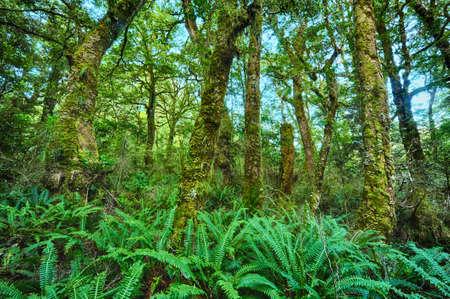 helechos: Hermosa selva tropical viva en Nueva Zelanda. Troncos de árboles están cubiertos de musgo y tierra está llena de helecho. Parque nacional de Fiordland Foto de archivo