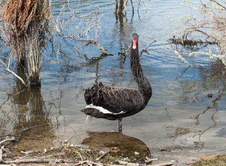 cygnus atratus: Black swan (Cygnus atratus) seen near Rotorua, New Zealand Stock Photo