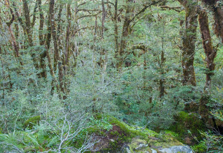 fiordland: Beautiful vivid rainforest in New Zealand. Tree trunks are covered by moss and ground is full of fern. Fiordland national park Stock Photo