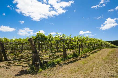 actinidia deliciosa: Kiwi fruit (Actinidia deliciosa) plantation seen on Coromandel peninsula, New Zealand