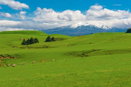 Prachtige landschap van de Nieuw-Zeelandse - heuvels bedekt door een groen gras met kuddes schapen met een machtige vulkaan Mt. Ruapehu bedekt met sneeuw achter. Nieuw Zeeland